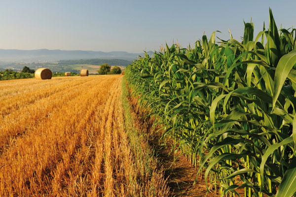 Campos de maiz y trigo Patrial